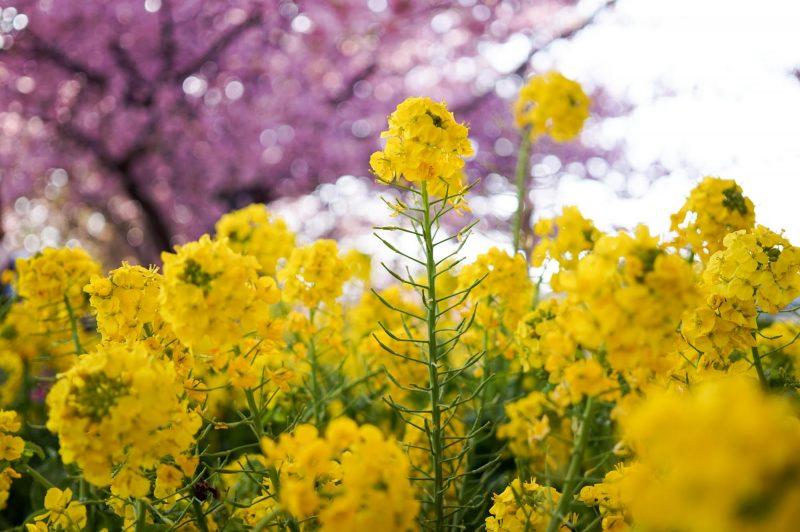 sigma art 30mmで撮った菜の花と桜