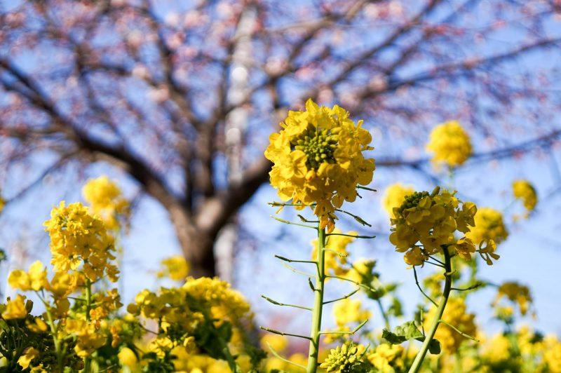 sigma art 30mmで撮った菜の花と桜2